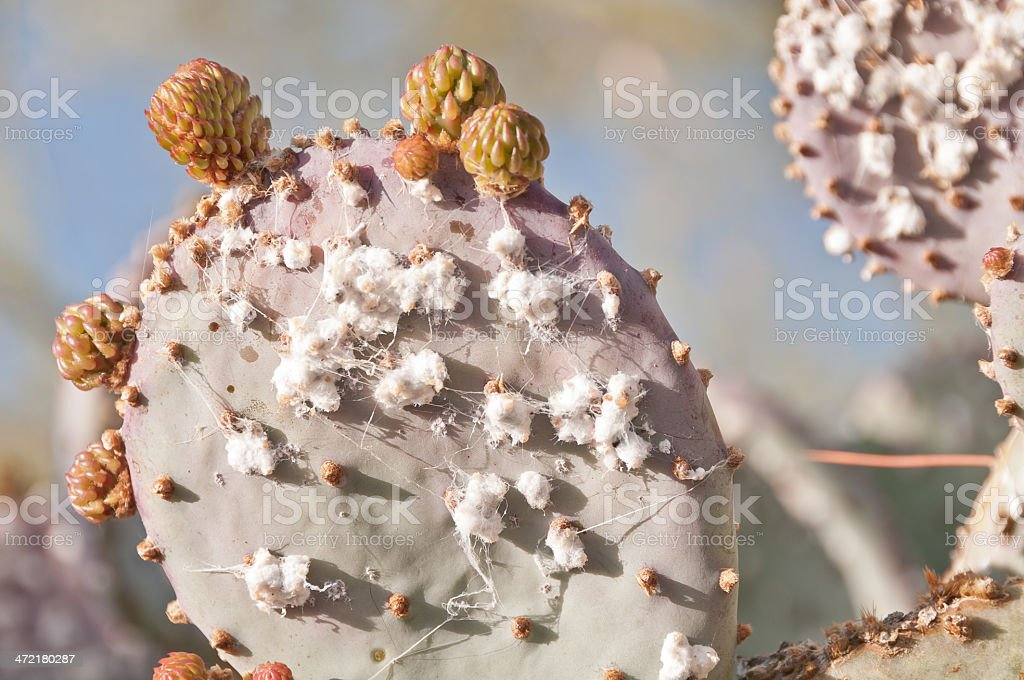 Cochineal on prickly pear cactus royalty-free stock photo