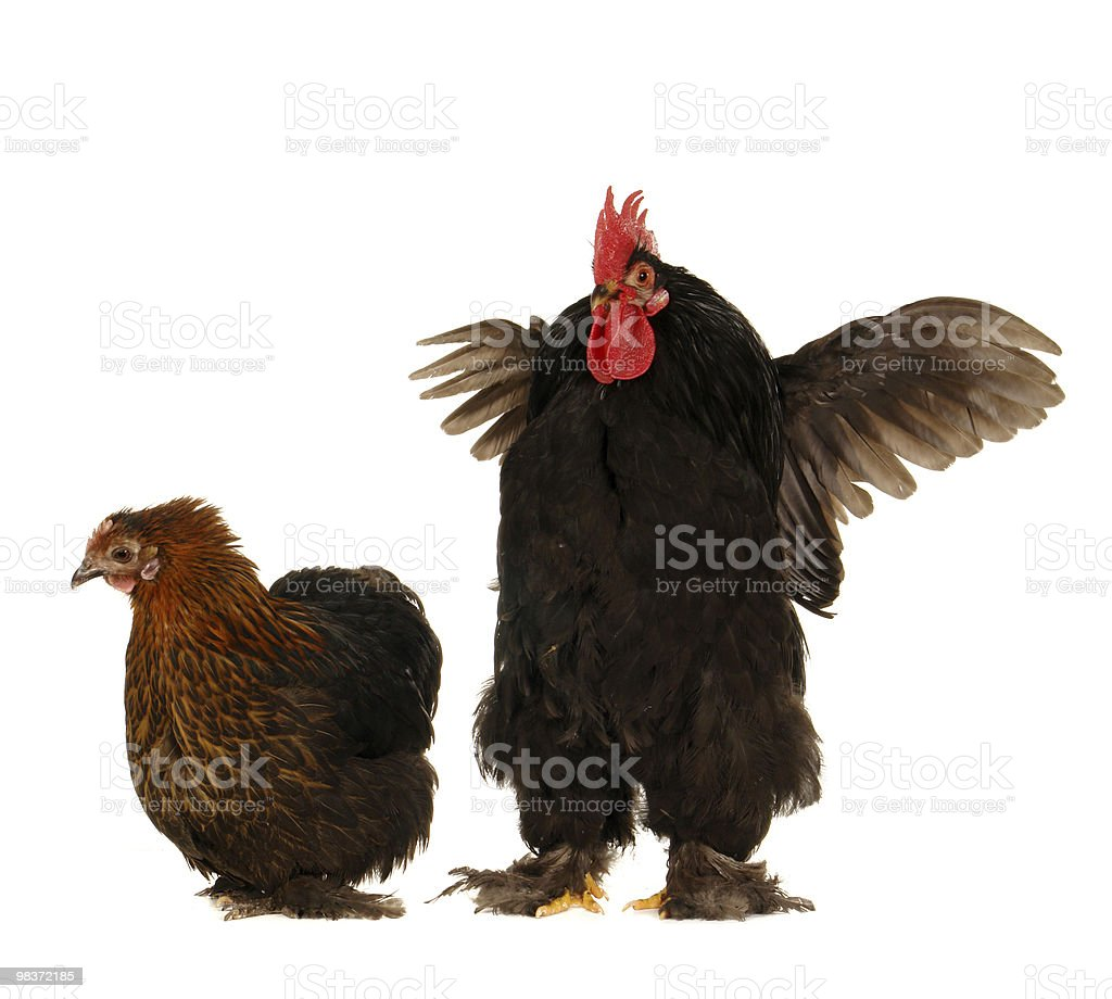 cock and  hen royalty-free stock photo