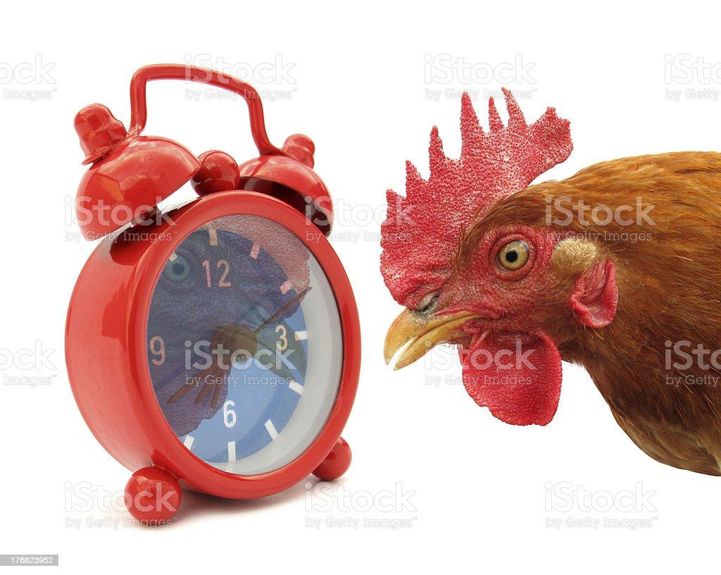 Cock chanticleer rooster looking at alarm clock stock photo