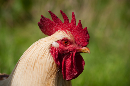 Cock Stock Photo - Download Image Now