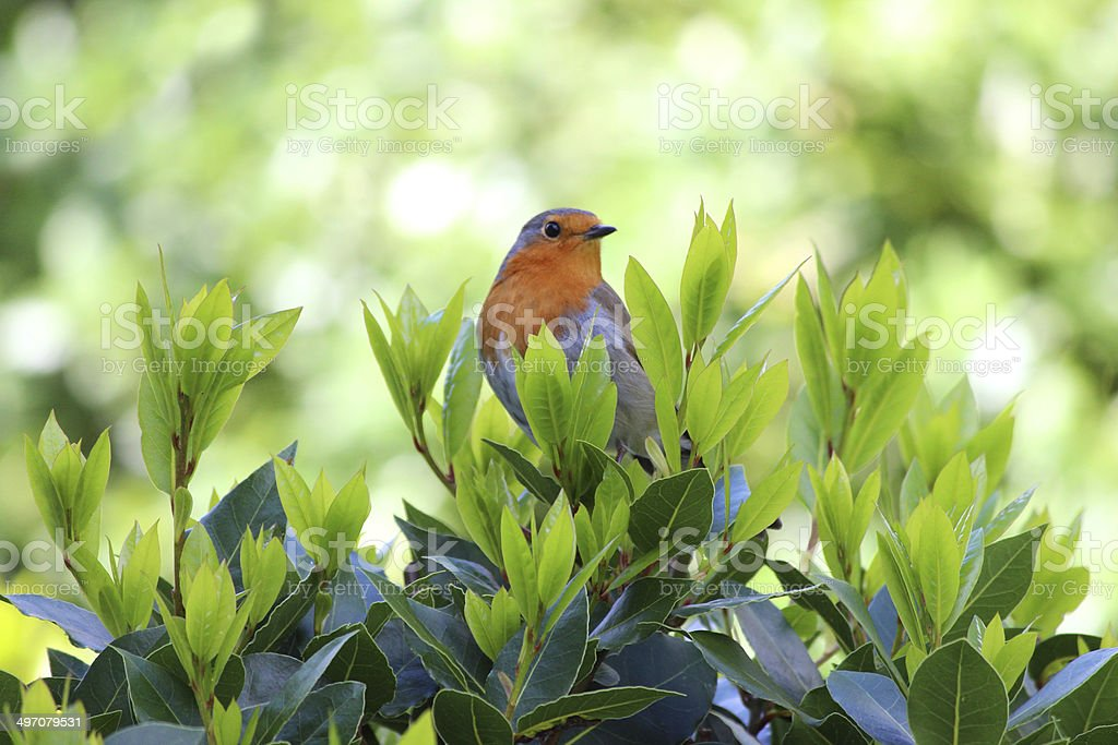 Cock robin red breast bird perched in bay tree image royalty-free stock photo