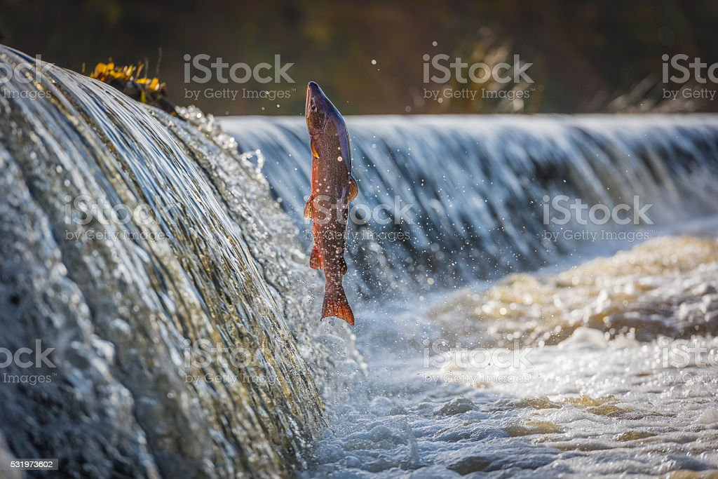 Cock Salmon Leaping Vertical stock photo
