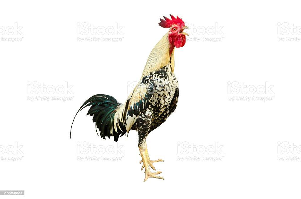 Cock three stock photo