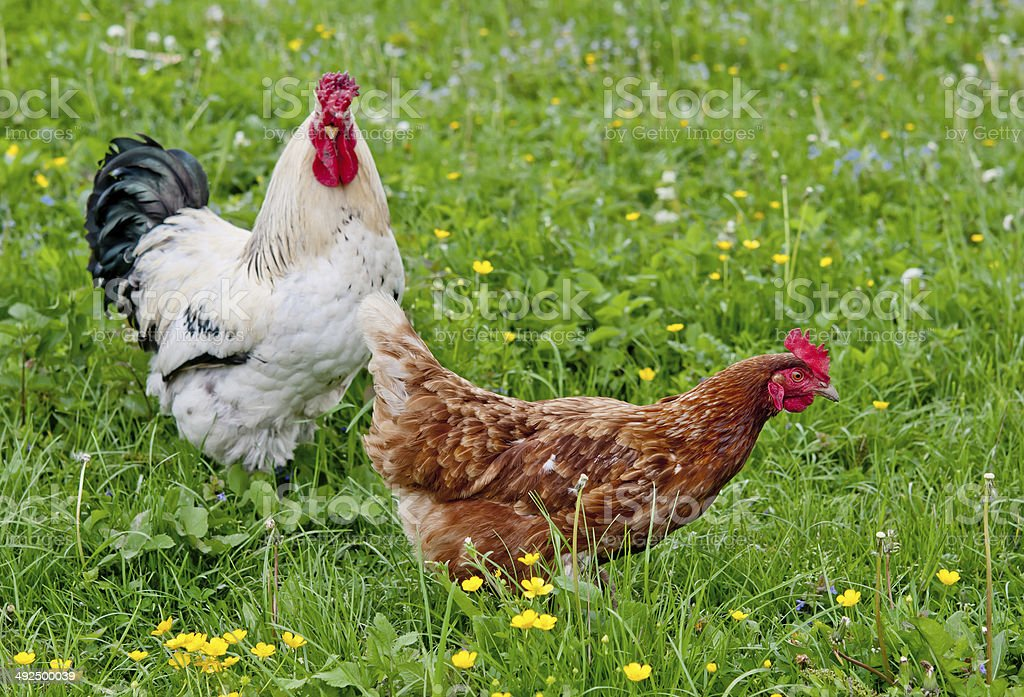 cock with hen stock photo