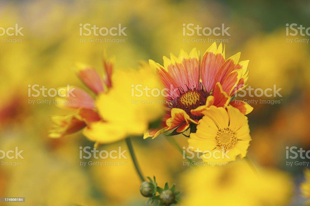 Cockade flower royalty-free stock photo