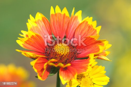 Cockade flower and girl eye flower.