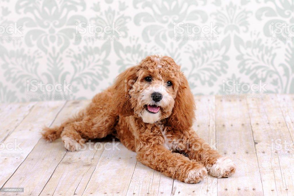 Cockapoo Dog Laying stock photo