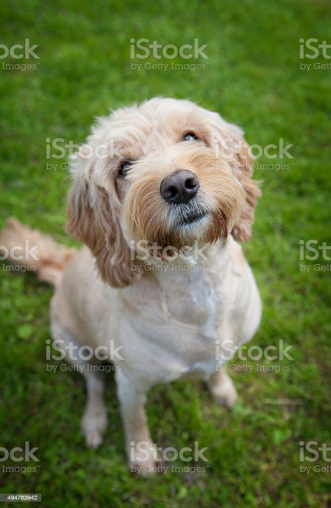 Cockapoo dog stock photo