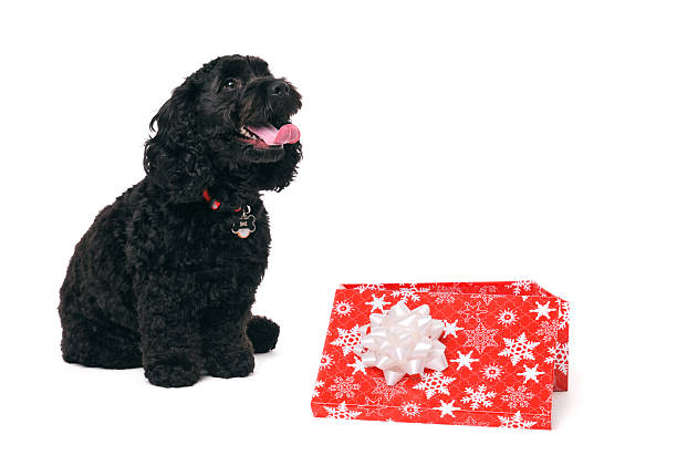 Cockapoo dog sitting by gift box on white background Side view of young black cockapoo dog sitting next to red Christmas gift box on white background. alongside stock pictures, royalty-free photos & images