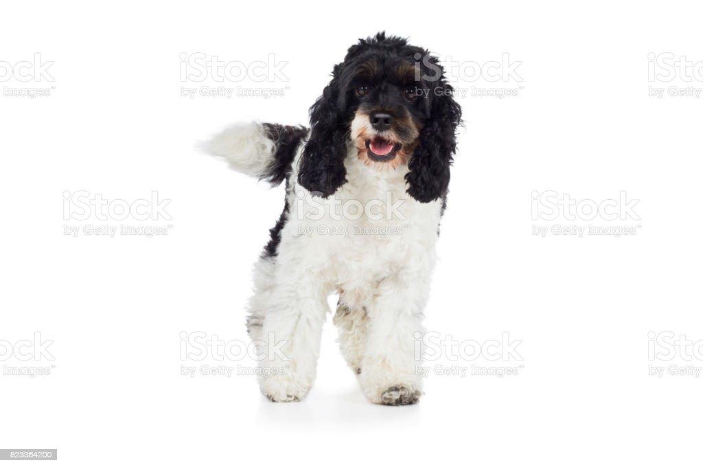 Cockapoo Hund Rassehund steht und guckt frontal stock photo