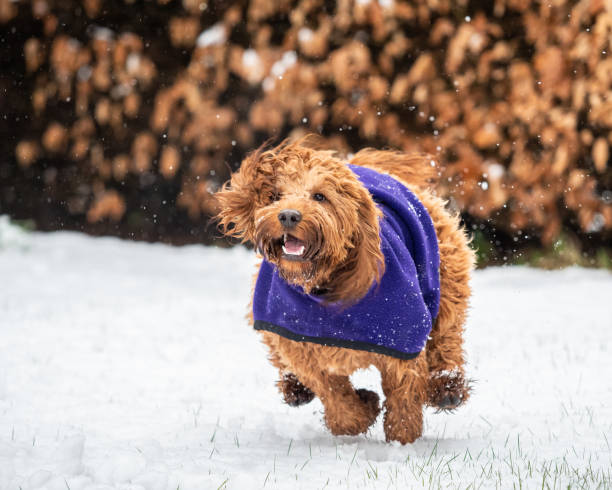 Um cockapoo que joga na neve - foto de acervo