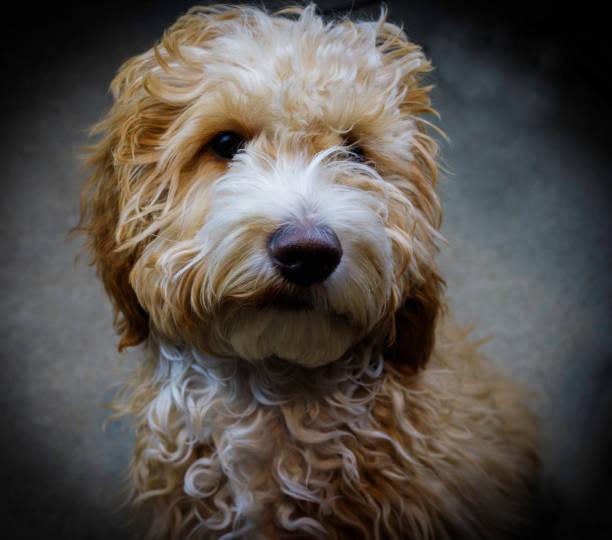 Cockapoo Pup stock photo