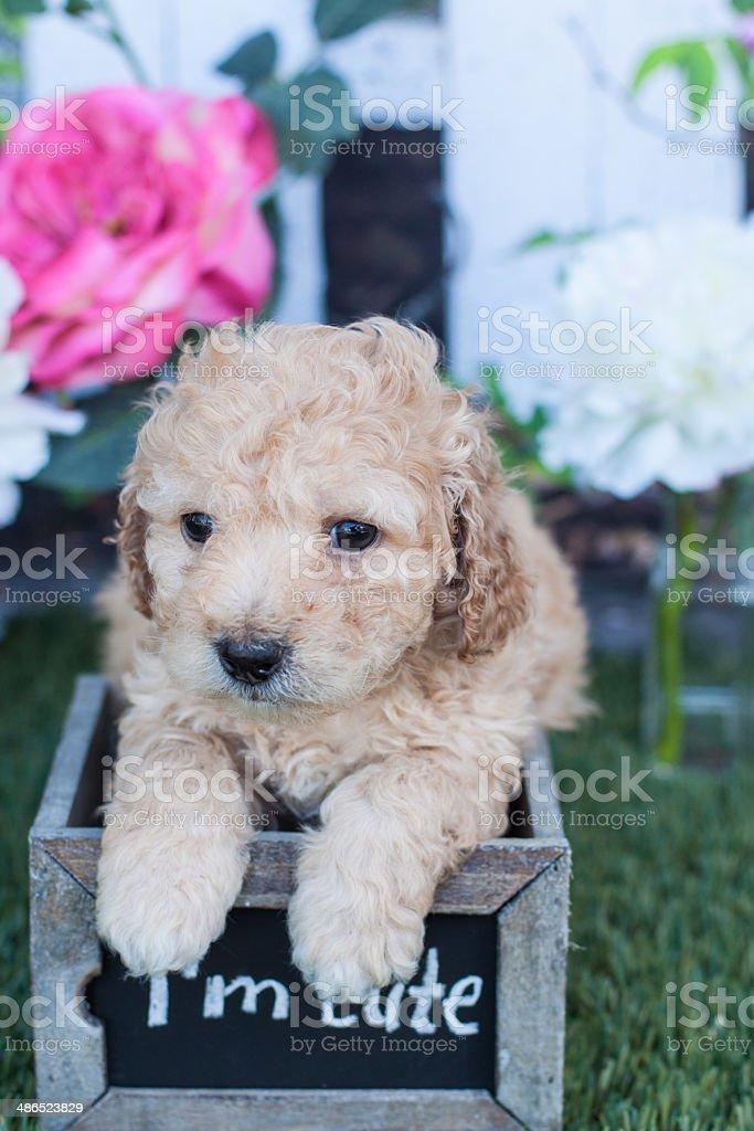 Cockapoo puppy in a box I am cute stock photo