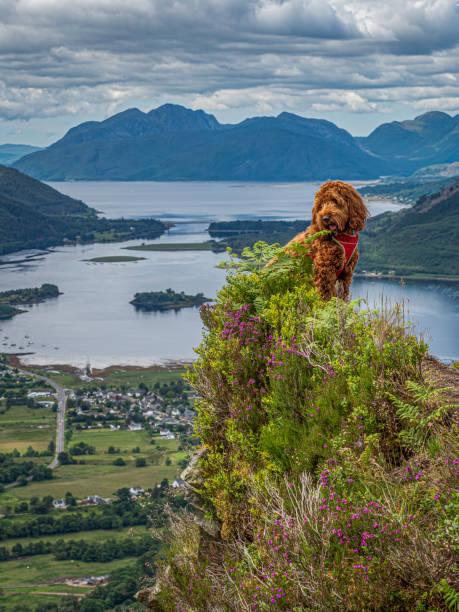 Filhote de cachorro de cockapoo nos montes acima de Glencoe - foto de acervo
