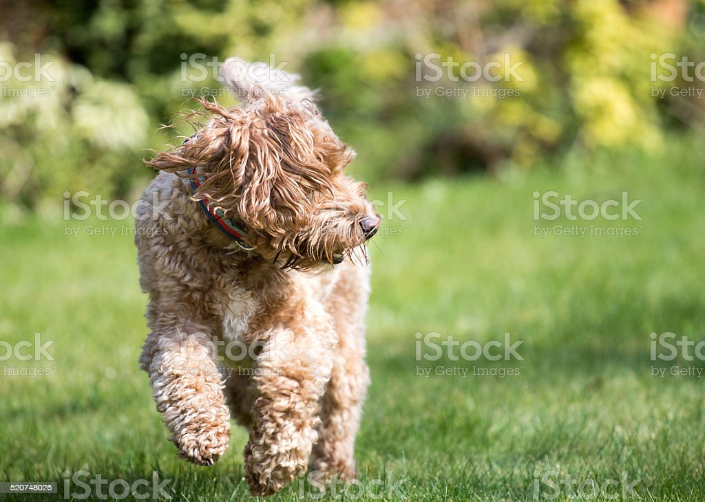Cockapoo Puppy stock photo