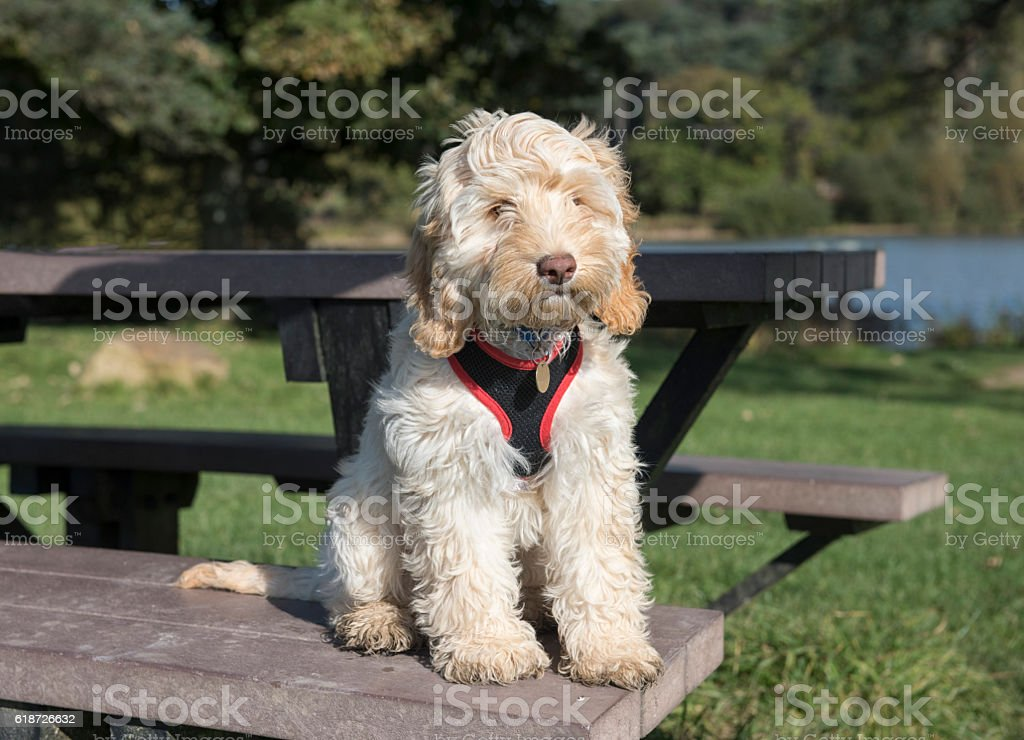 Cockapoo puppy sitting on a picnic bench outdoors stock photo
