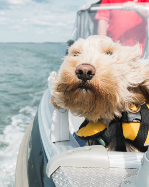 Cockapoodle pet dog on boat with yellow lifevest frontview stock photo