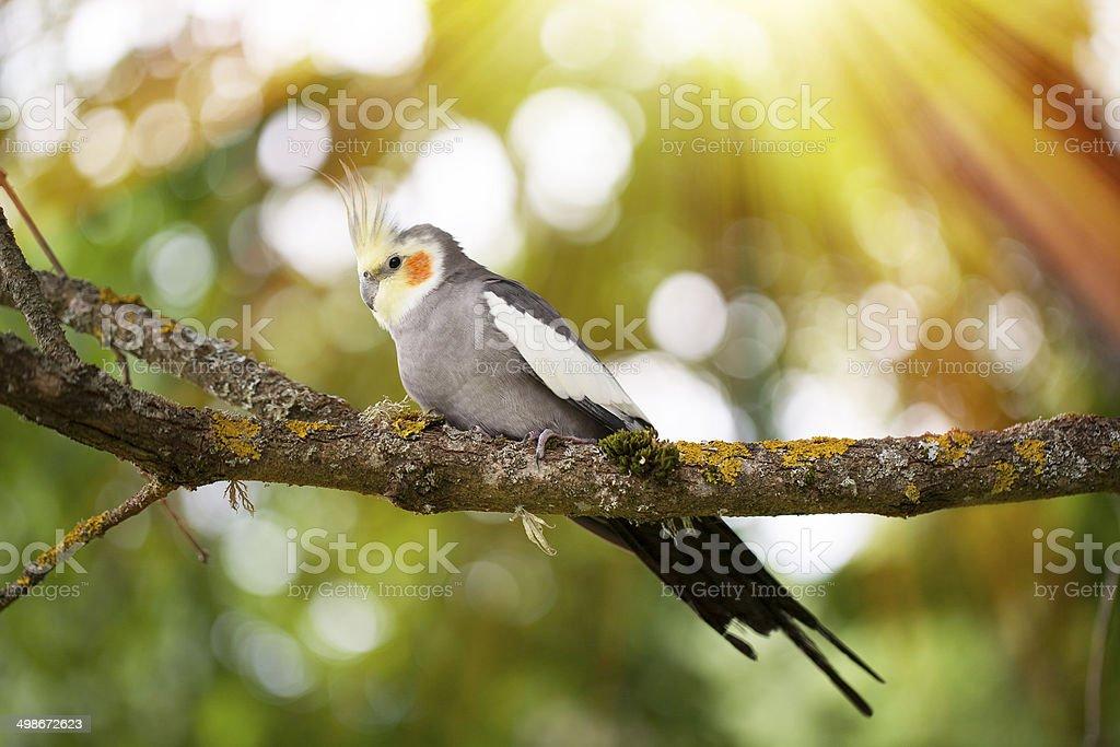 Cockatiel bird on a tree branch stock photo