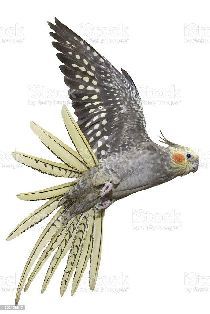 Cockatiel Flying stock photo