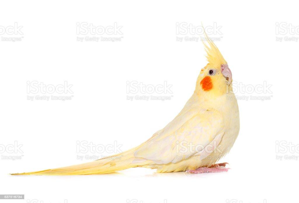 cockatiel in studio stock photo