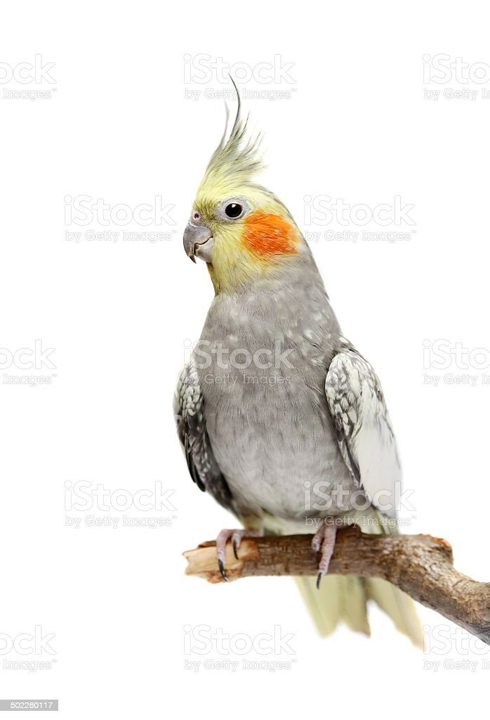 Cockatiel parakeet 4 years old stock photo