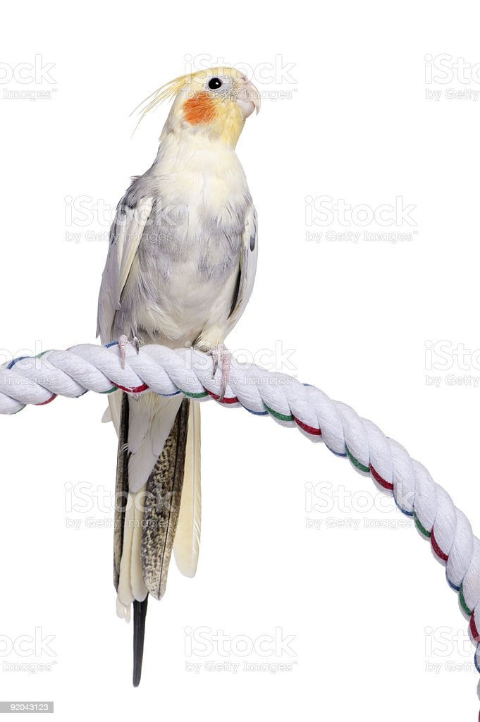 Cockatiel perching on a rope stock photo