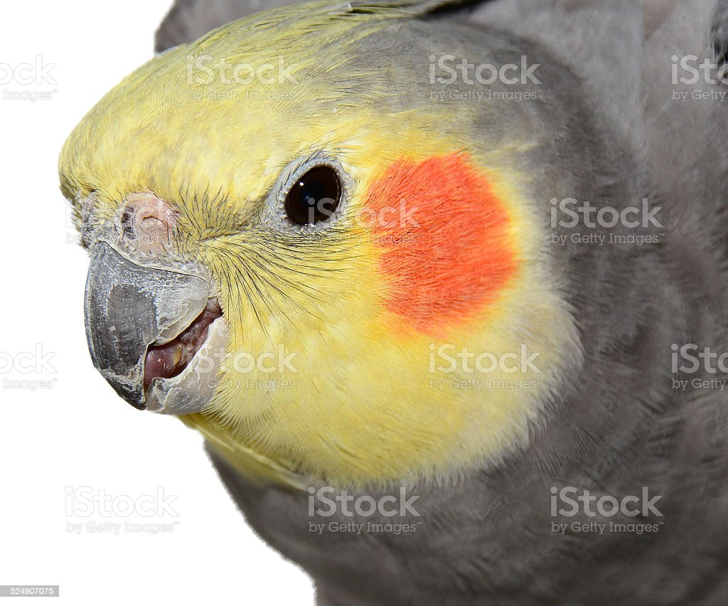 Cockatiel stock photo