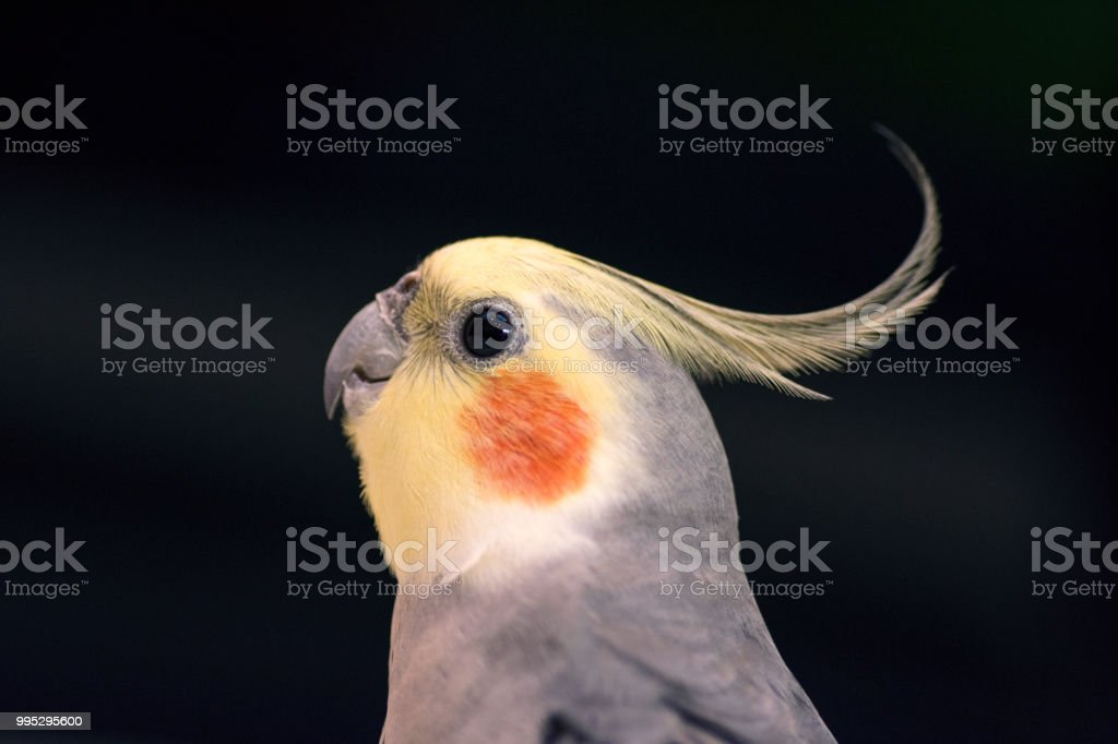 cockatiel stock photo