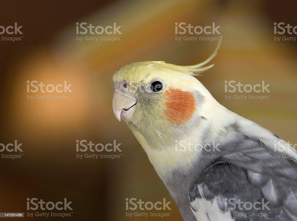 cockatiel portrait stock photo