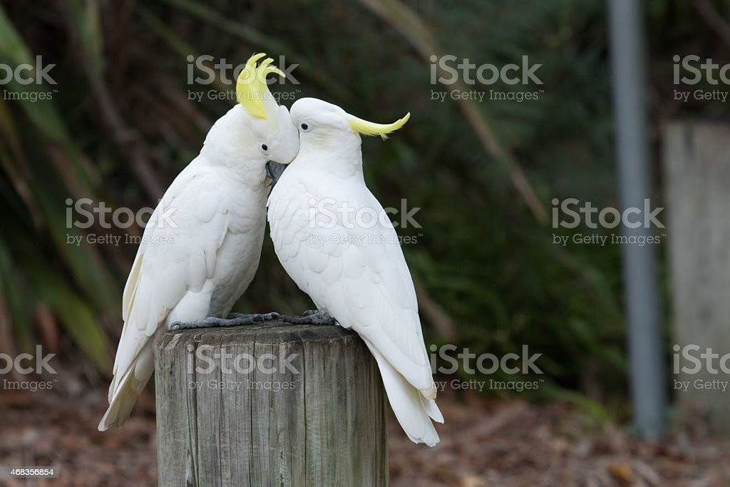 Cockatoo Love royalty-free stock photo