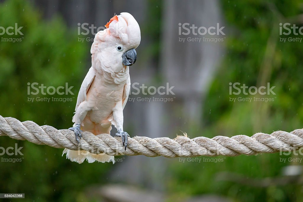 Cockatoo on a rope stock photo