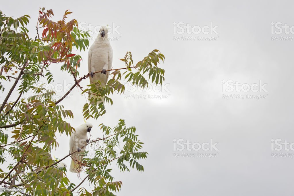 Cockatoo on tree stock photo