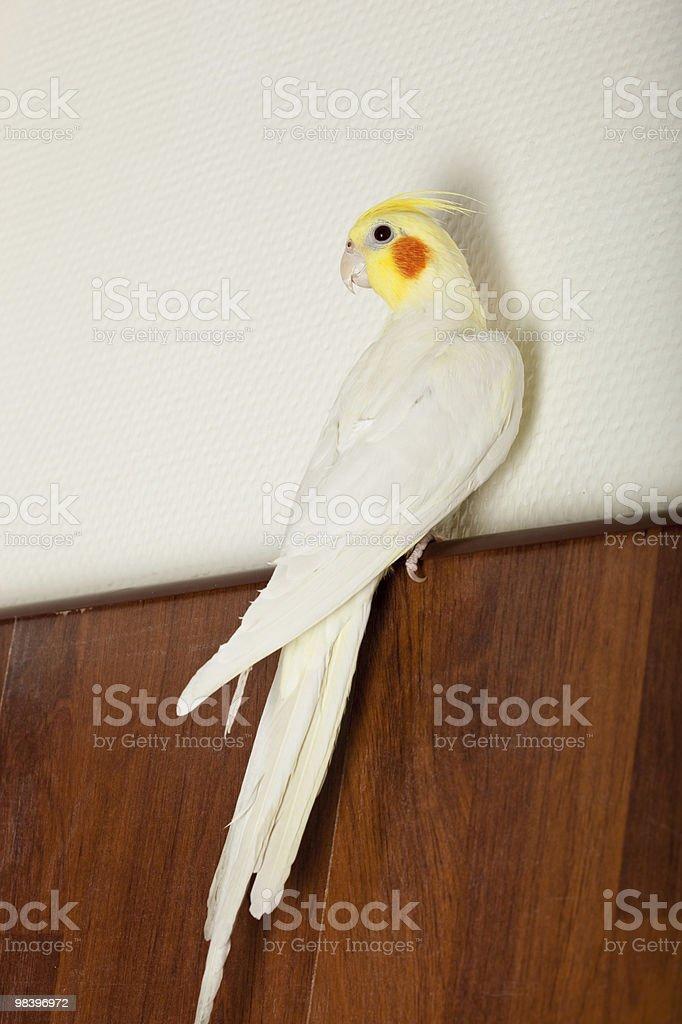 Cockatoo Parrot, Quarrion, Weero, Nymphicus hollandicus royalty-free stock photo