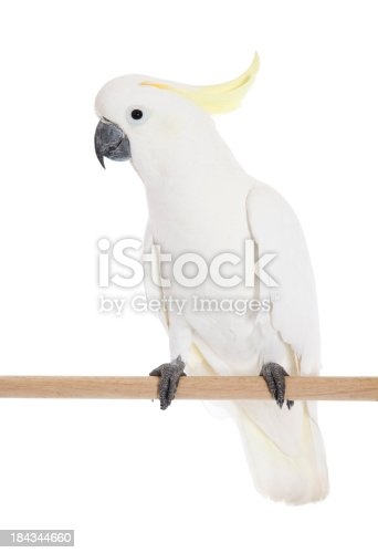 A Sulphur Crested Cockatoo on perch.