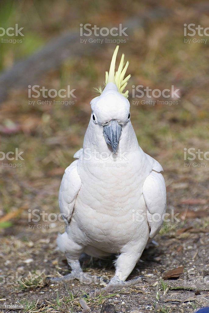 Cockatoo with attitude royalty-free stock photo