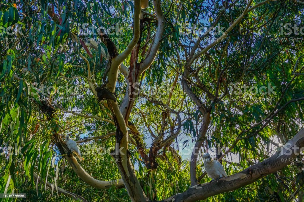 Cockatoos in a wonderful tree stock photo