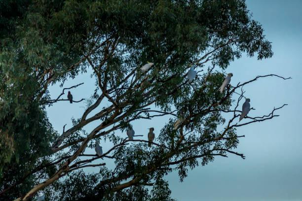 Kakadus sitzen in einem Baum in Australien – Foto