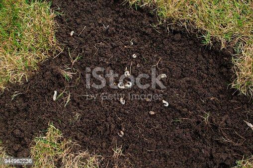 cockchafer grubs as larvae in soil, also known as June Bug Larvae
