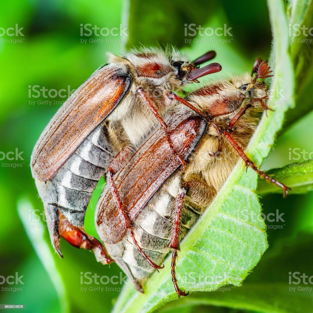 Cockchafer Melolontha May Beetle Bugs Insect Copulating Macro - Royalty-free Animal Stock Photo