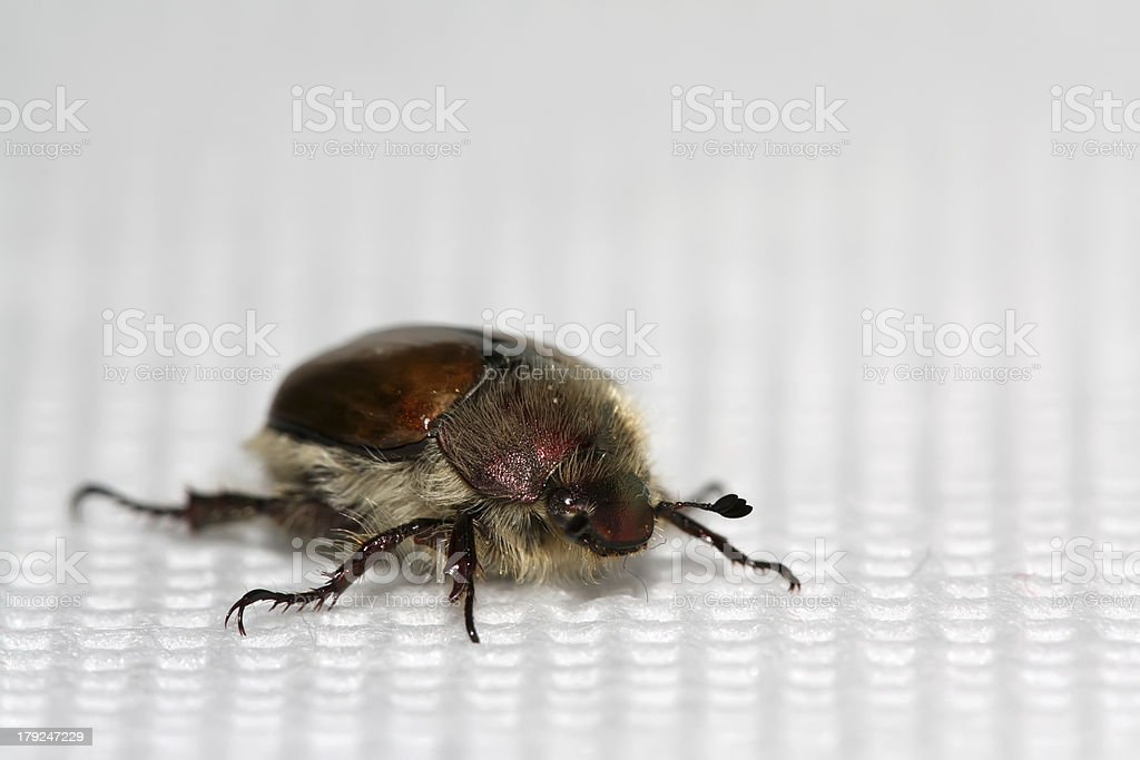 cockchafer royalty-free stock photo