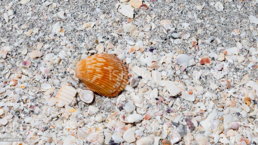Cockel shell on the beach, Sanibel Island, Florida, USA stock photo