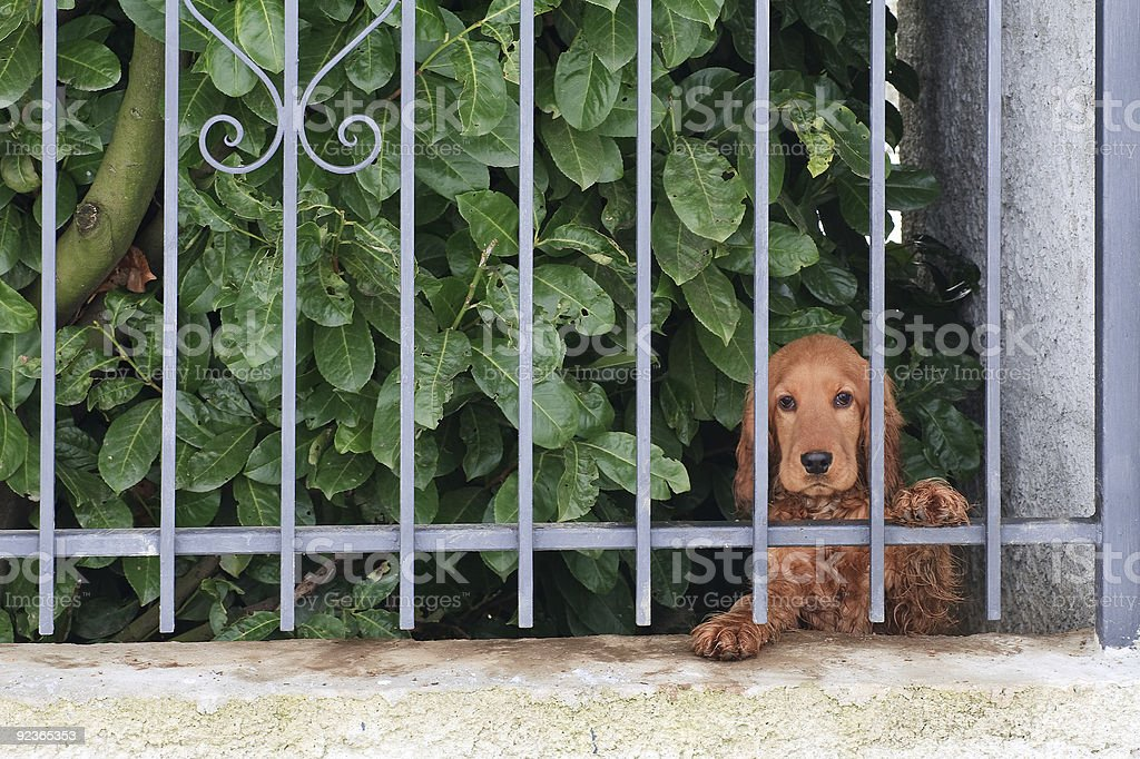 cocker behind the slabs royalty-free stock photo