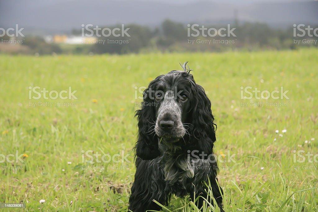 cocker stock photo