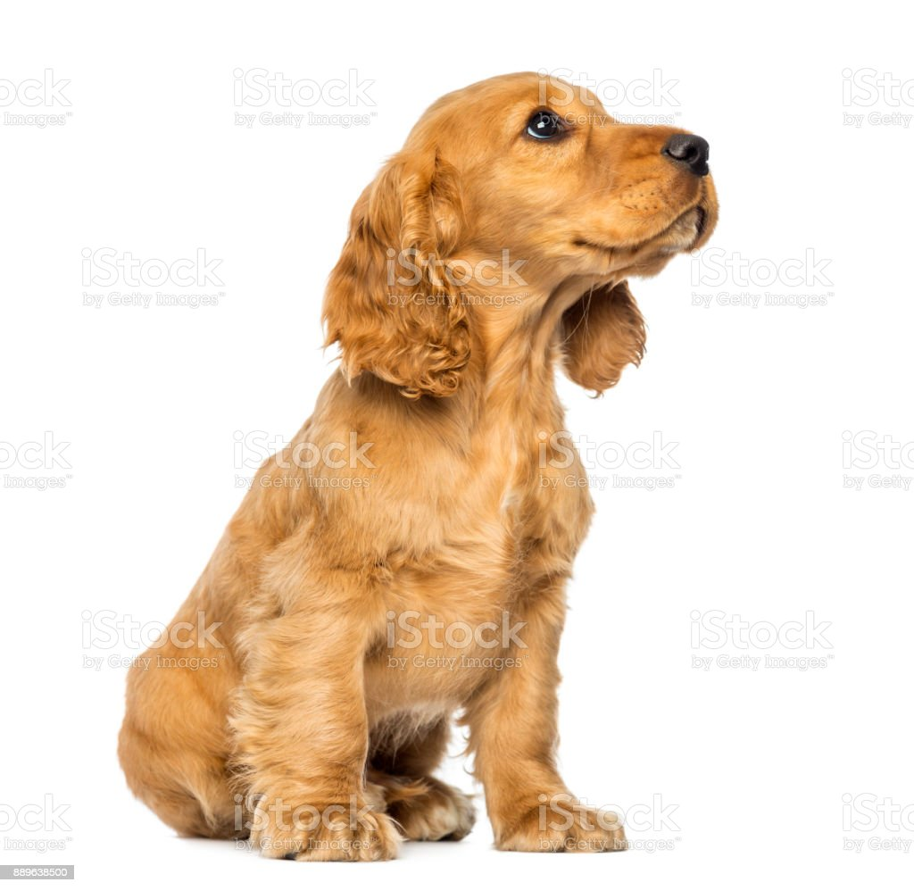 Cocker puppy sitting, looking up, isolated on white stock photo