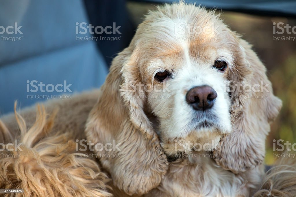 cocker spanie stock photo