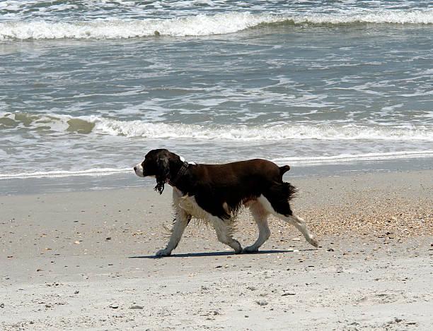 cocker spanial am strand - amerikanischer cocker spaniel stock-fotos und bilder