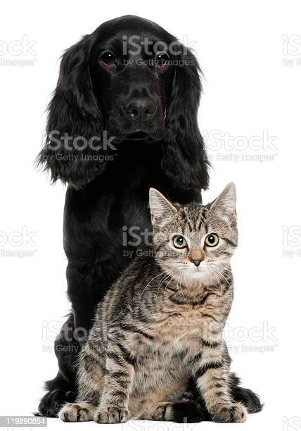 Cocker spaniel and european cat sitting white background picture id119890854?b=1&k=6&m=119890854&s=612x612&h=0fxovuknhjijeflhotiztobzrggel  632 ln0glzdo=