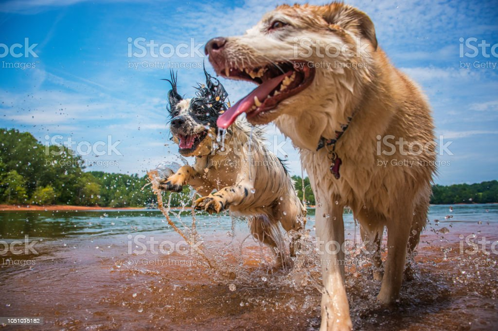 A cocker spaniel and husky enjoying a splash at the lake. stock photo