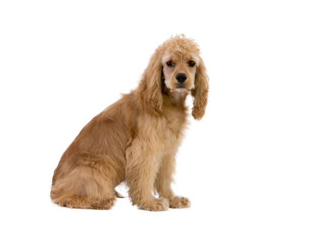 cocker spaniel hund vor weißem hintergrund - amerikanischer cocker spaniel stock-fotos und bilder
