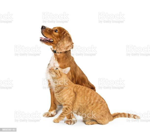 Cocker spaniel dog and tabby cat looking up together picture id989599192?b=1&k=6&m=989599192&s=612x612&h=bnjyvj26azdeq34rfg2xyd1ws e6htvi7muifajexn4=